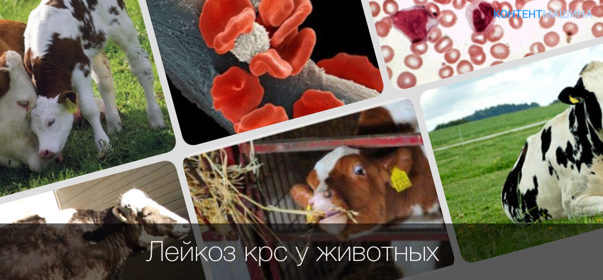 Как определить лейкоз у коровы в домашних условиях