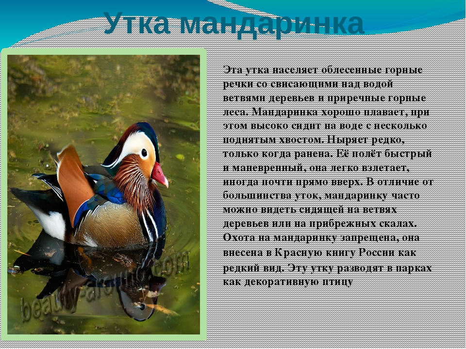 Утка башкирская: описание и характеристики породы, фото, особенности содержания, отзывы