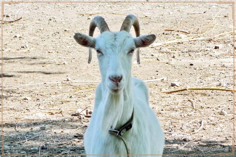 Коза домашняя – разведение, содержание и уход для начинающих