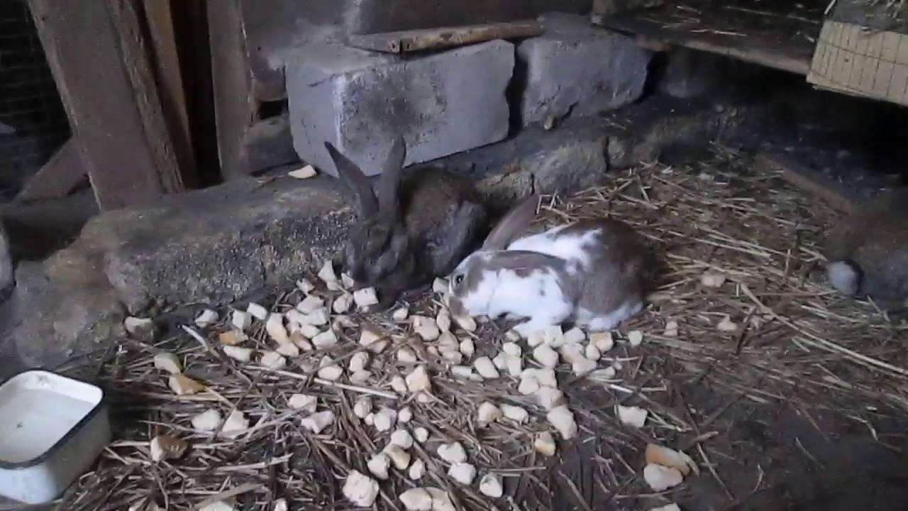 Симптомы и лечение кокцидиоза у кроликов, профилактика болезни, рекомендованные лекарства