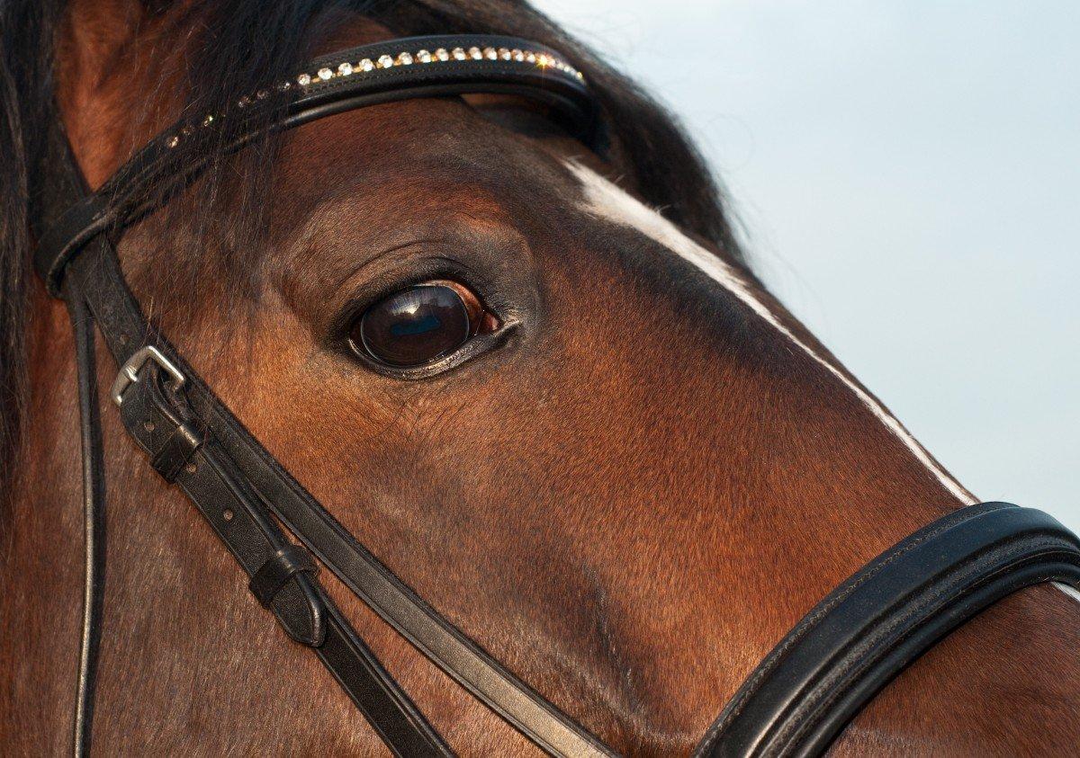 Глаз лошади: расположение, фокусировка, глазомер