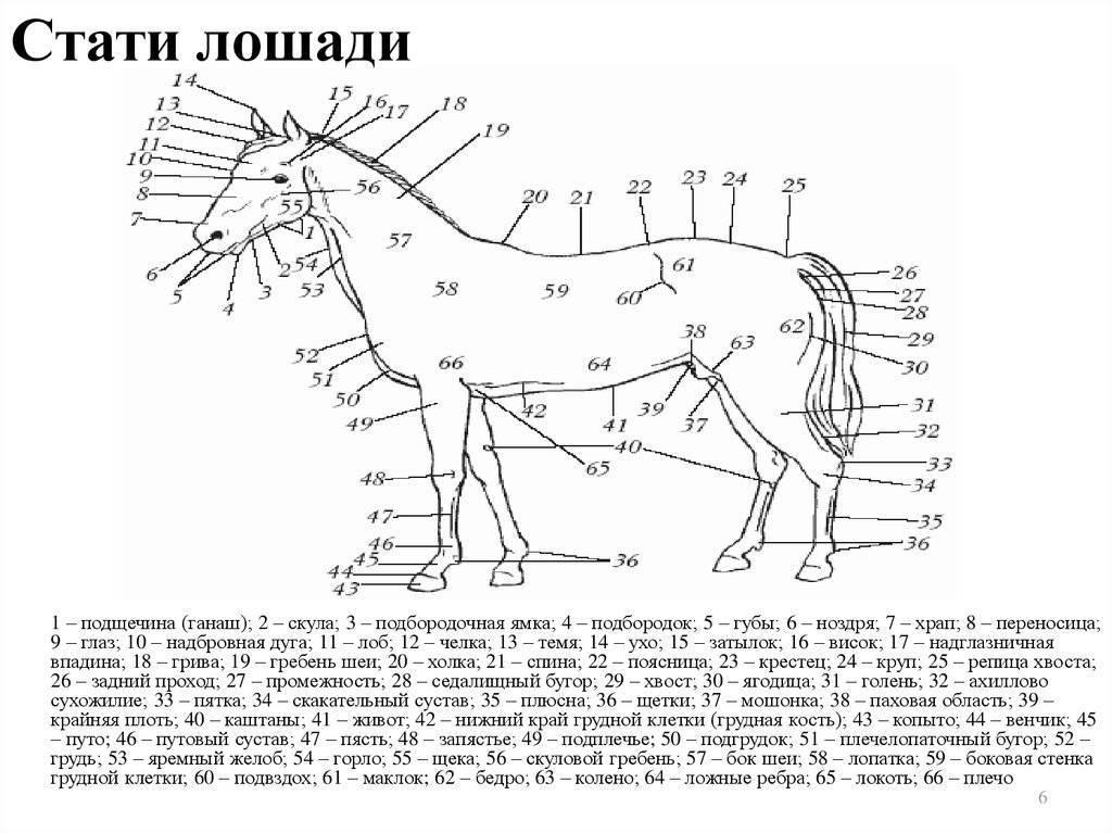 Разбираем анатомию лошади — скелет, стати, строение