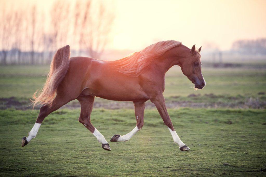 Арабская лошадь ? фото, описание, ареал, питание, враги ✔