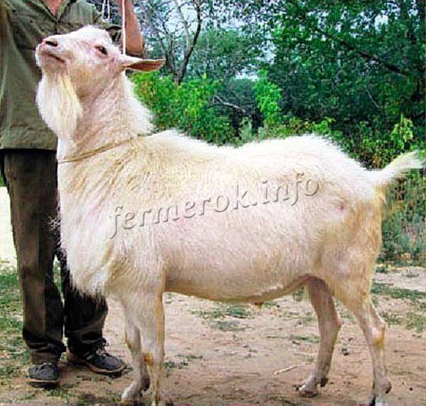 Молочные козы зааненской породы: характеристики, описание и содержание животных