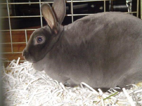 Сколько длится и как проходит беременность у кроликов