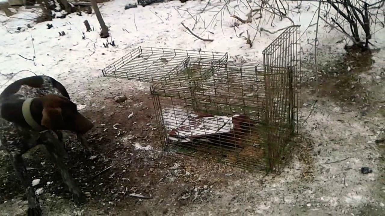 Как поймать фазана своими руками: установка ловушек