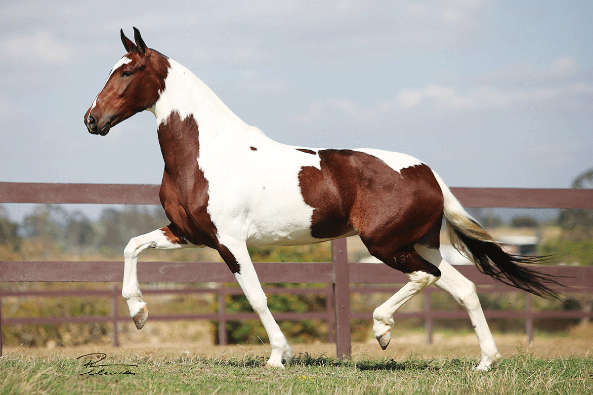 Пегая лошадь (30 фото): какой цвет у коней? описание масти, правила ухода