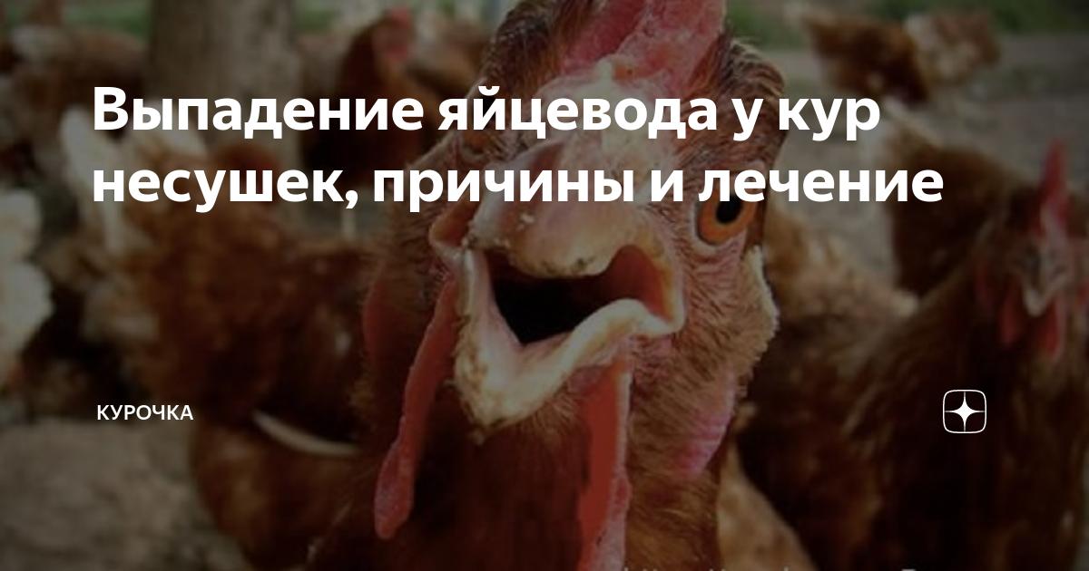 Сальпингит у птиц: причины возникновения воспаления яйцевода у несушек, как диагностировать и лечить заболевание