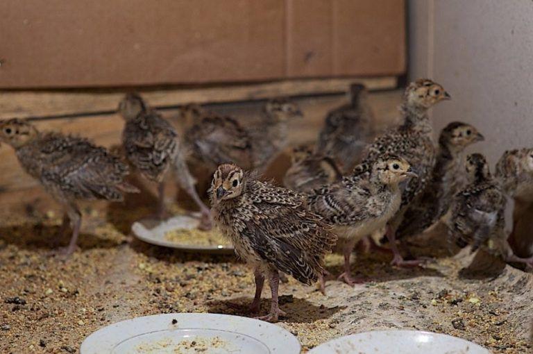 Разведение фазанов в домашних условиях - что и как