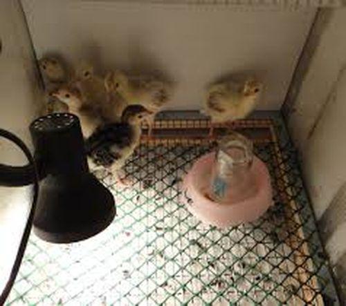 Об инкубации цесарок: выведение яиц в инкубаторе в домашних условиях