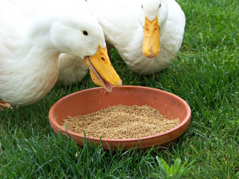 Чем кормить утят в первые дни жизни в домашних условиях