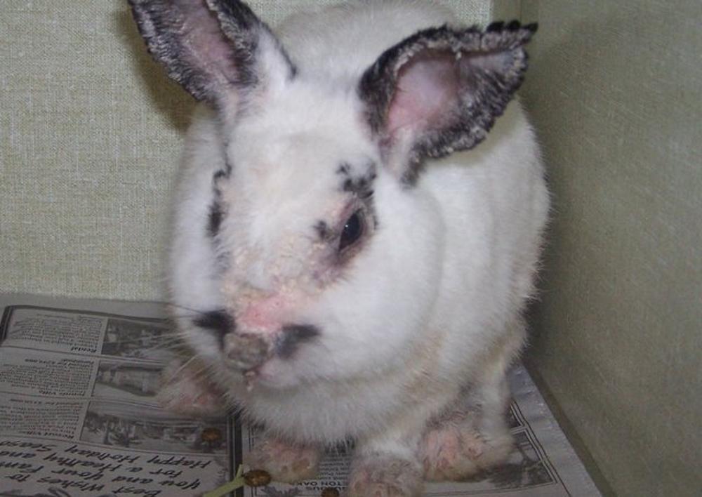 Ушной клещ у кроликов - как быстро вылечить коросты в ушах от ушного клеща, народные средства и препараты