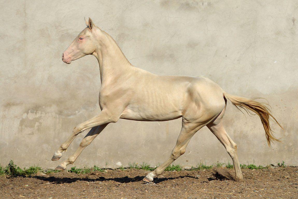 ✅ об изабелловой масти лошади: особенности лошадей изабелловой масти - tehnomir32.ru