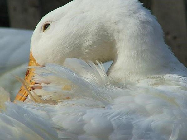 Утки садятся на ноги и дохнут что делать народные средства - медицинская профилактика