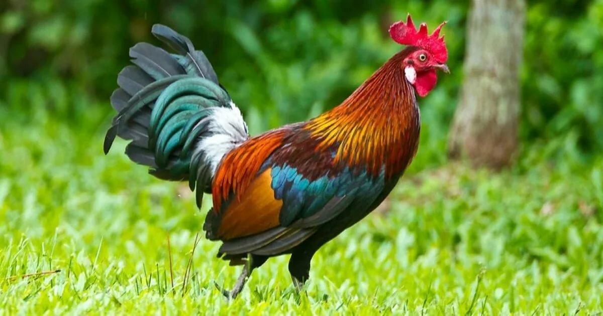 Дикие куры в природе фото, предки курицы домашней