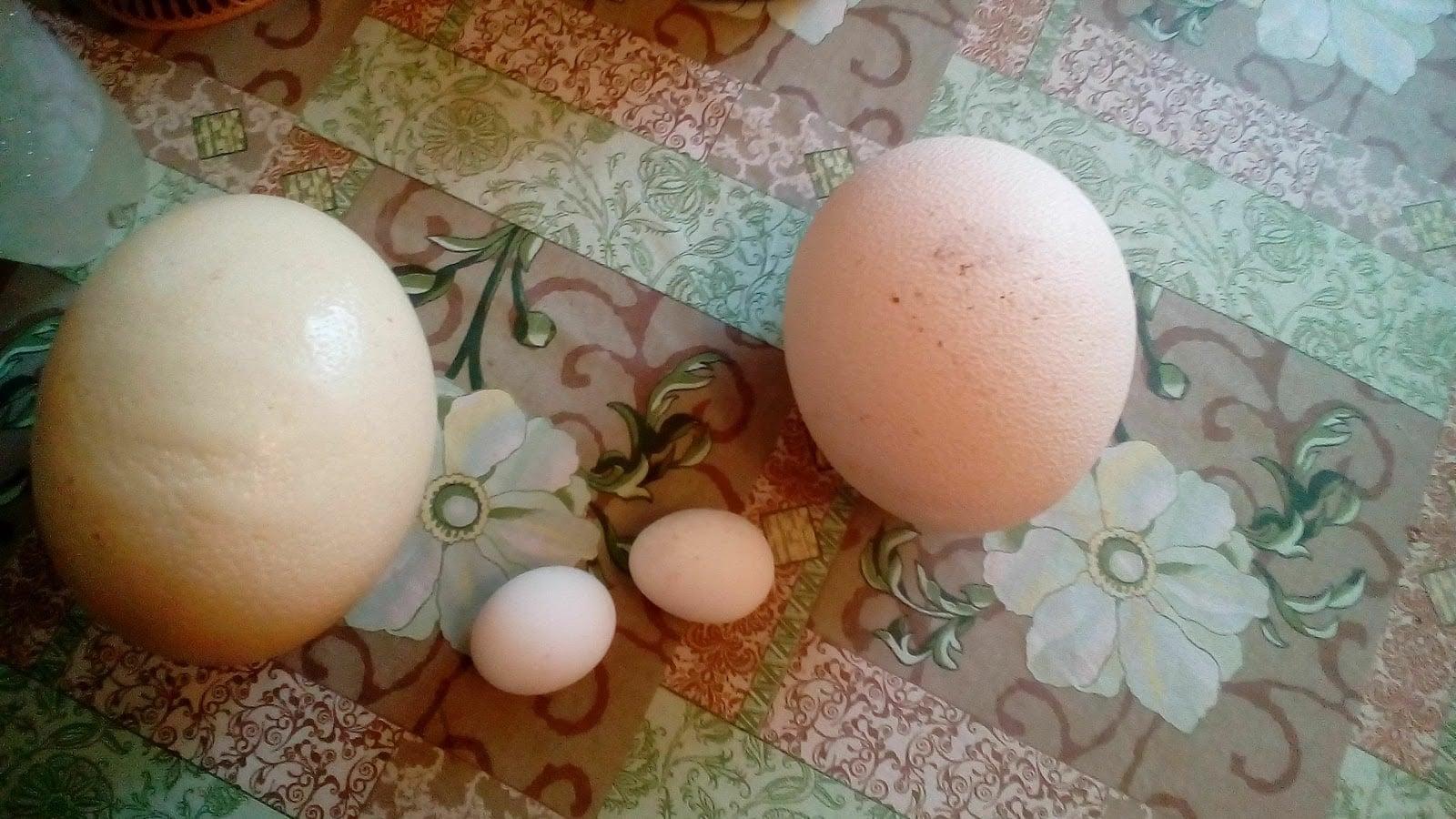 Страусиное яйцо: описание, полезные свойства