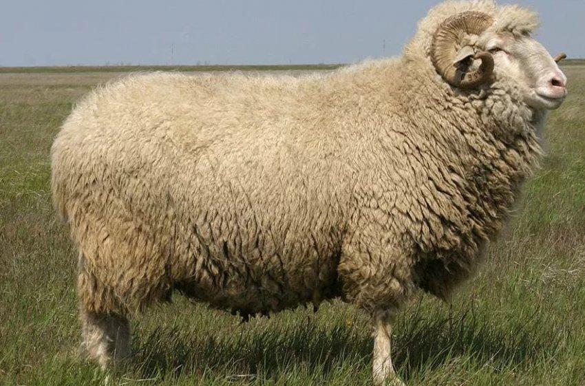 Реферат: овцеводство 3