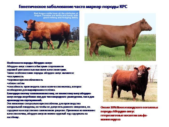 ᐉ абердин-ангусская порода коров — характеристика, продуктивность, содержание, разведение - zoopalitra-spb.ru