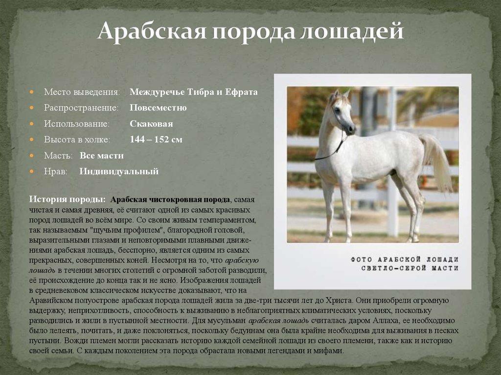 Чистокровная арабская лошадь и ее описание