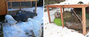 Содержание кроликов зимой на улице: плюсы и минусы