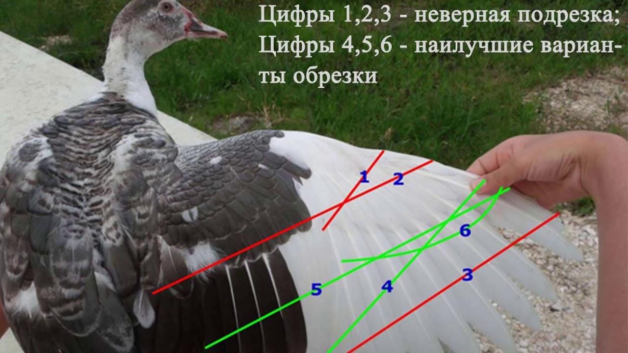 Как подрезать крылья индюкам, если они ведут себя агрессивно?