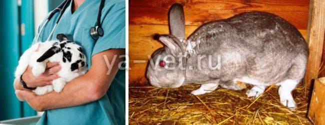 Глисты у кроликов: симптомы, лечение и обзор препаратов