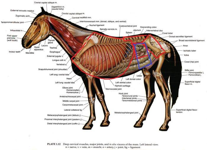 Анатомия лошади суставы