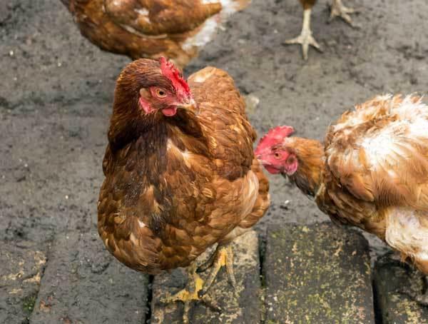 О курах, петухах, бройлерах и цыплятах, выщипывающих друг у друга перья
