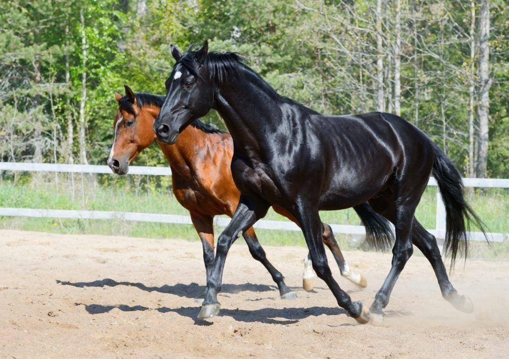Немецкие и голландские лошади — звезды современного конного спорта