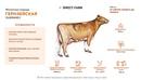 Лучшие молочные породы коров