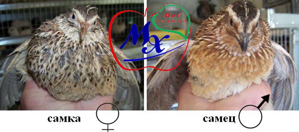 Какими способами можно отличить самку от самца цесарки