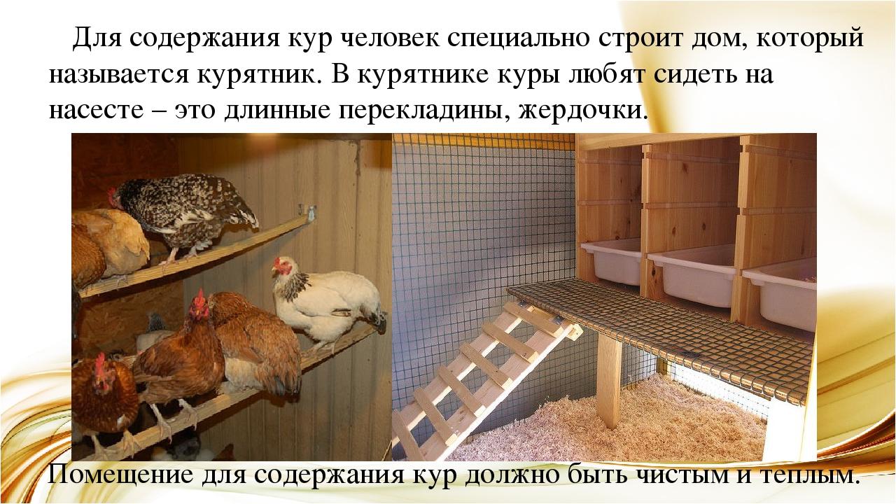 Разведение кур несушек в домашних условиях, советы начинающим