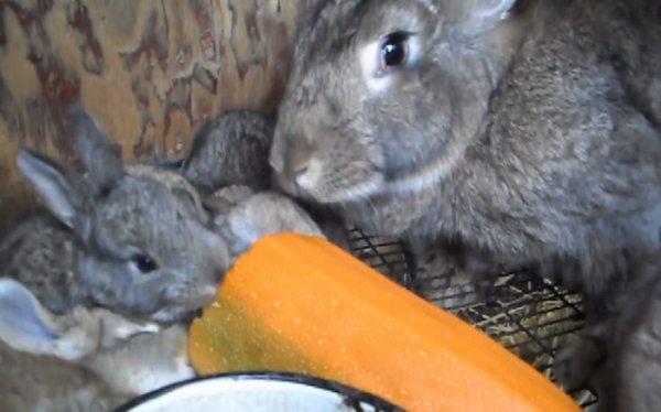 Можно ли декоративным кроликам груши – как правильно давать