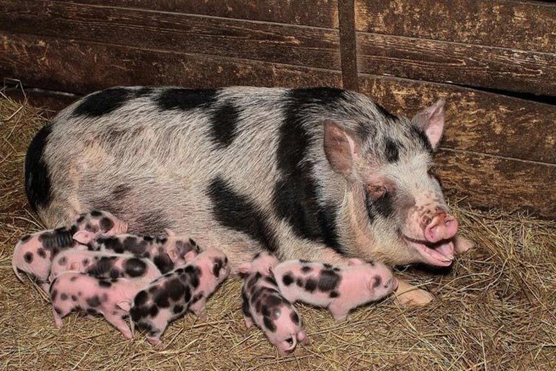 Как узнать супоросная свинья или нет: сколько длится беременность у свиноматки?