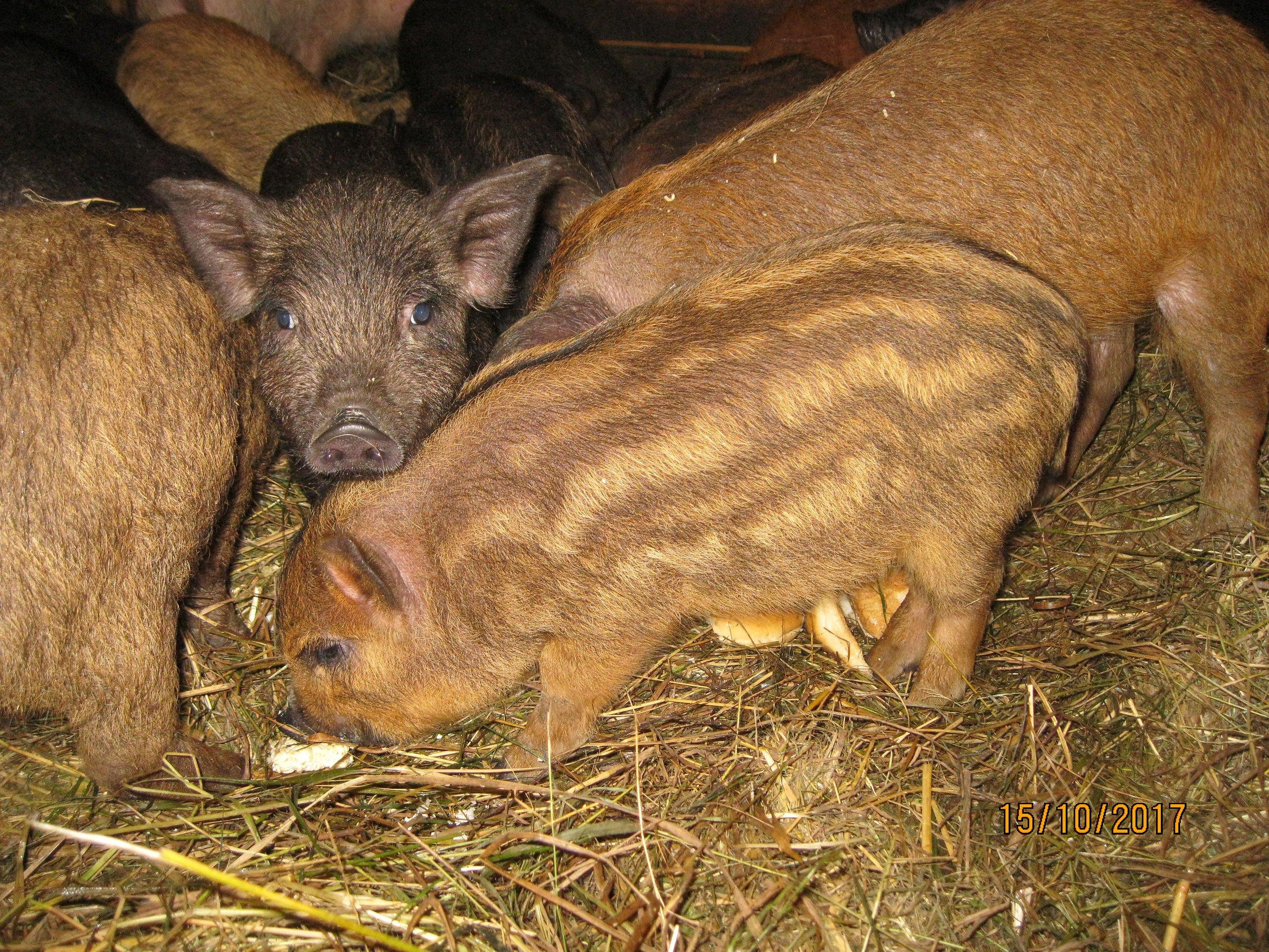 Кармалы: описание породы свиней, продуктивные характеристики