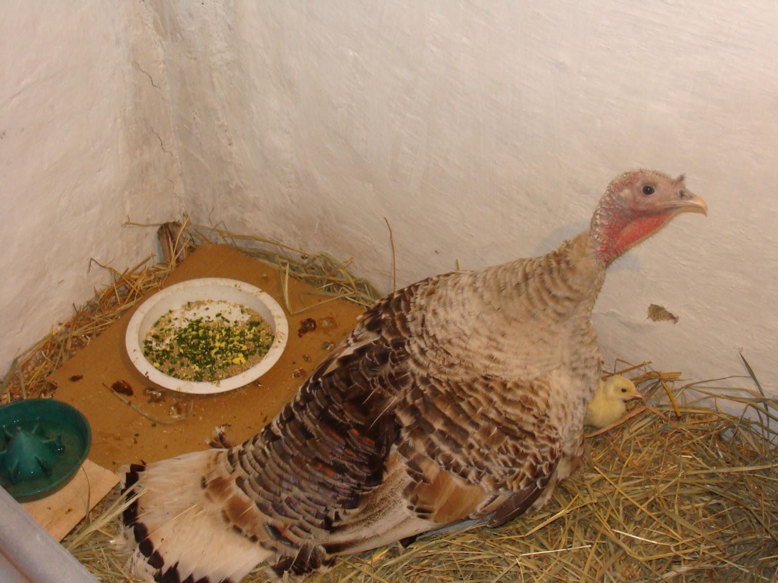 В каком возрасте на самом деле впервые индюшки несут яйца в домашних условиях