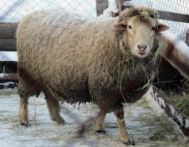 Мясные породы овец: характеристика или описание крупной катумской породы в россии без запаха, их история создания и где купить