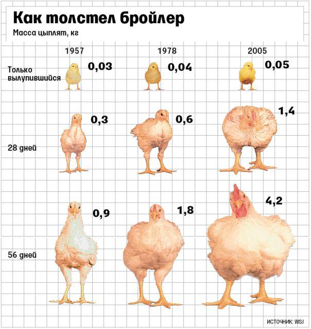 Цыплята-бройлеры: чем они отличаются, как их выбрать и на что обратить особое внимание