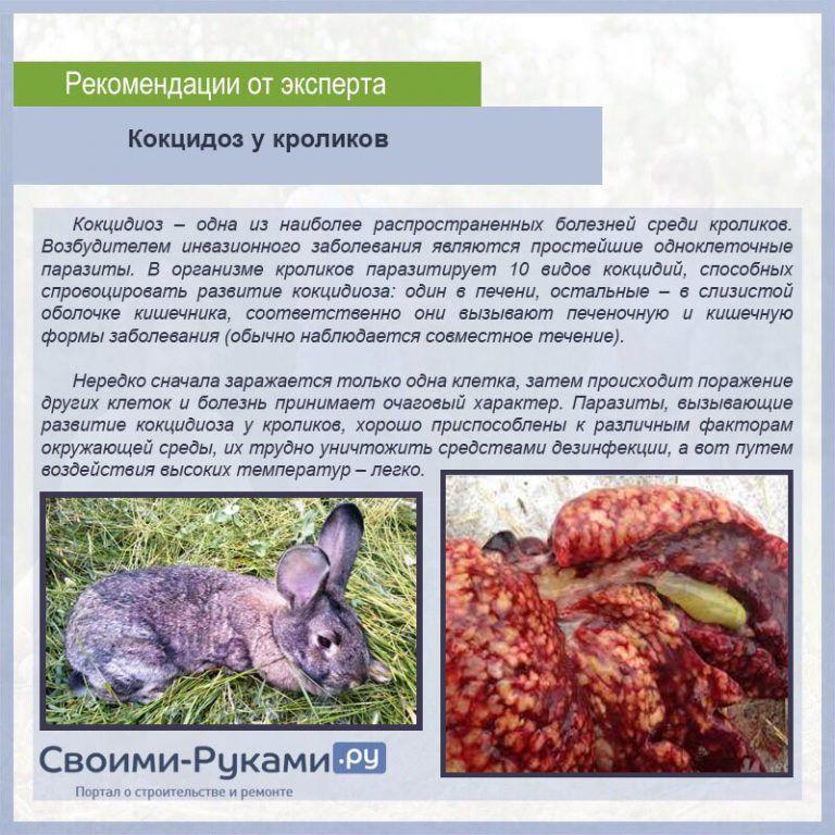 Кокцидиоз у кроликов – симптомы, лечение и профилактика эймериоза в домашних условиях