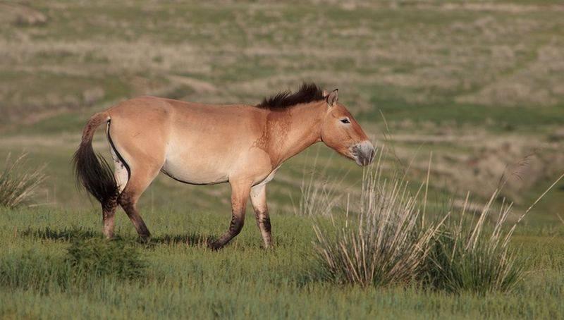 Лошадь пржевальского: особенности и среда обитания