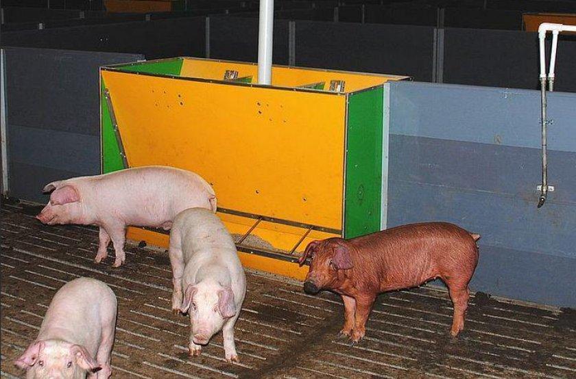 Корыто для свиней: как сделать своими руками, виды кормушек