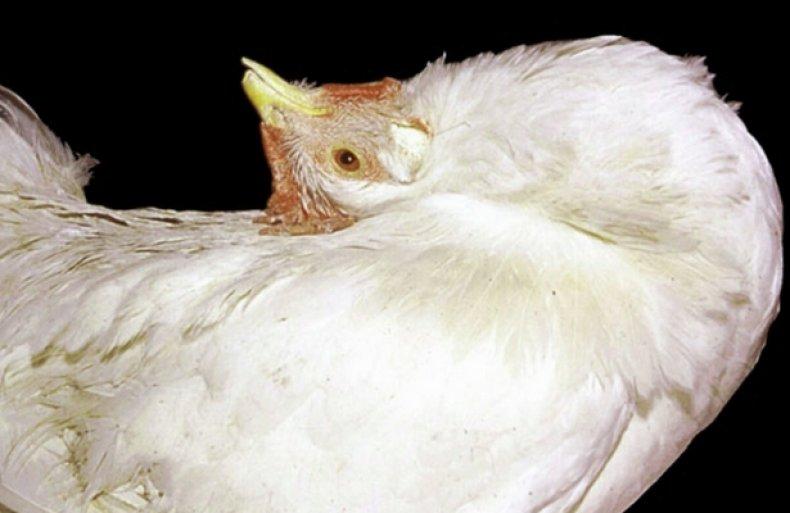 Болезнь марека у кур - описание, основные характеристики и симптомы