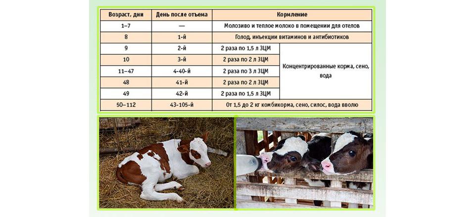 Теленок (37 фото): правила откорма маленьких бычков на мясо в домашних условиях быстрым способом. требования к домикам для быков