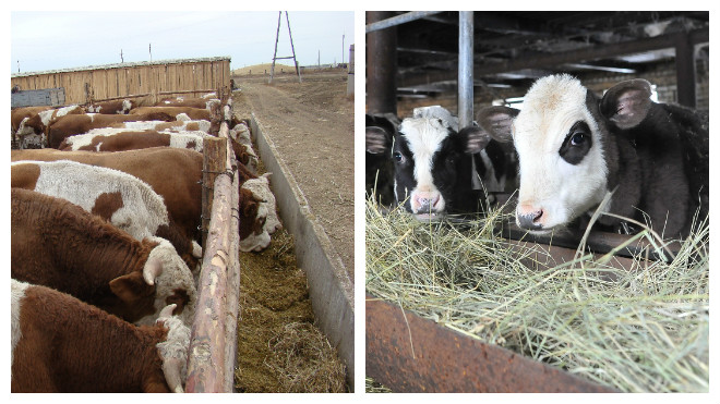 Разведение бычков с нуля: как добиться достаточной прибыли