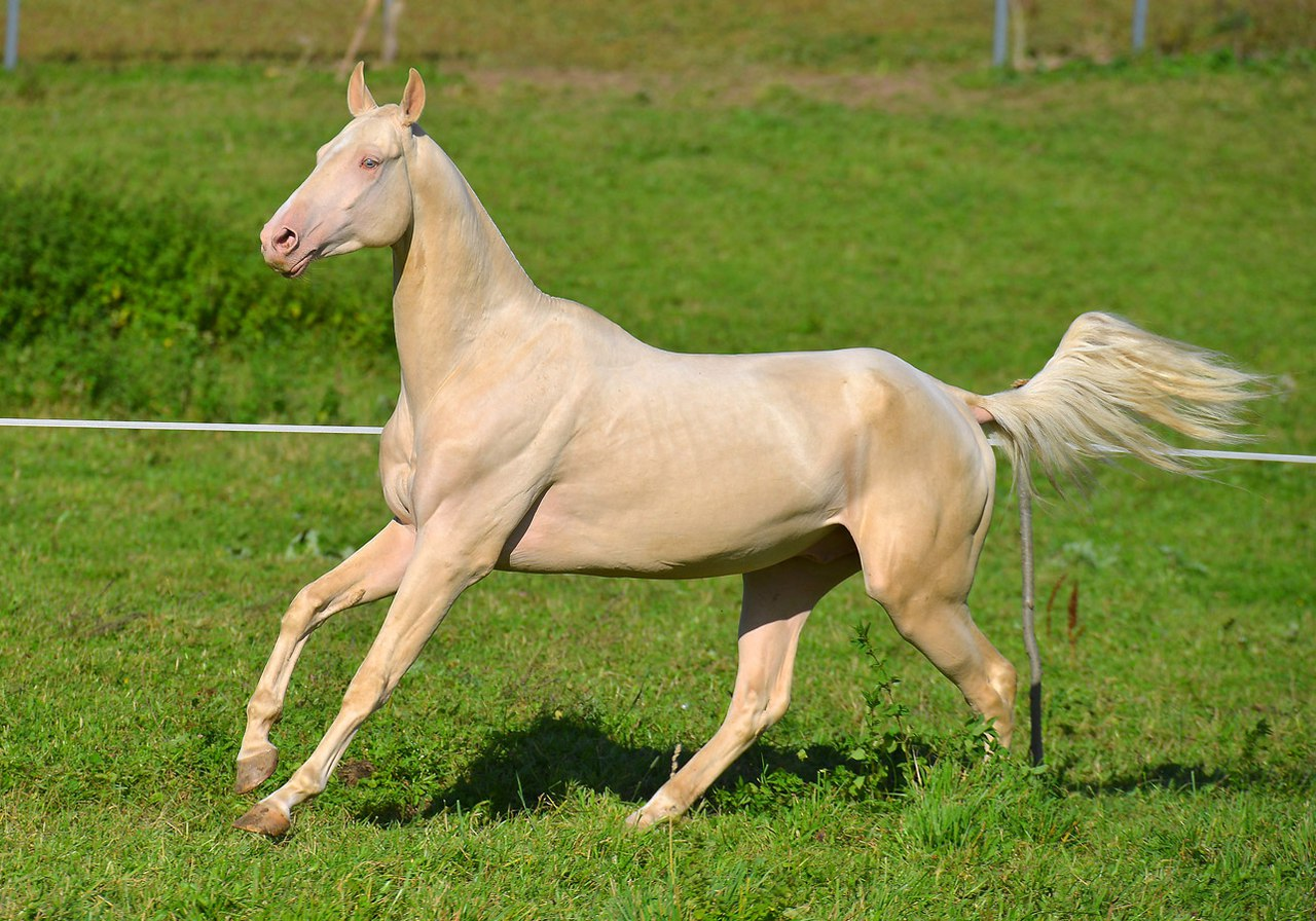 Ахалтекинская лошадь: описание породы и характеристики