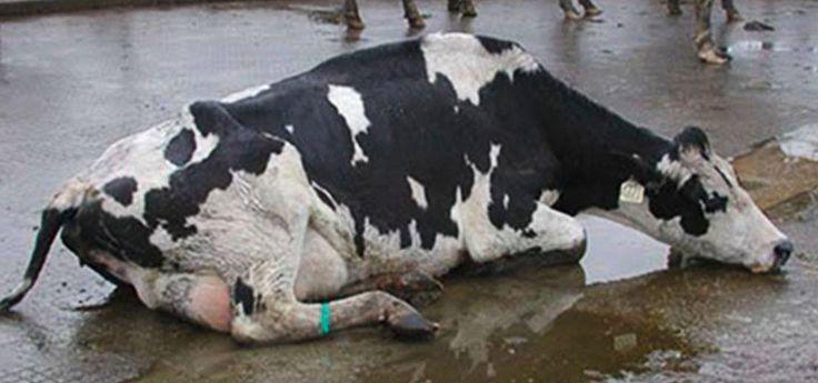 Молоко с кровью у коровы: почему, что делать