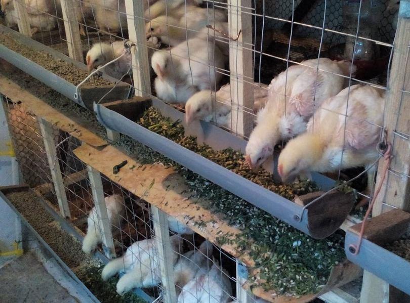 Клетки для бройлеров своими руками: фото, размеры, чертежи, как сделать на 10, 20 и более голов, изготовление самодельных батарей для цыплят в домашних условиях