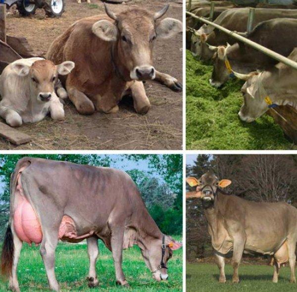 ✅ о швицкой породе коров и быков: описание и характеристики, содержание, уход - tehnomir32.ru