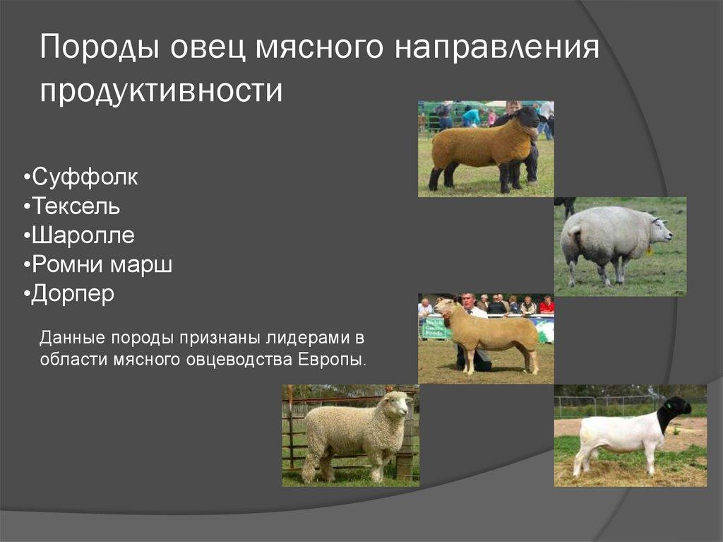 Лучшие породы овец: мясные, молочные, шерстные