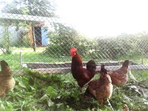 Можно ли давать чистотел курам и цыплятам